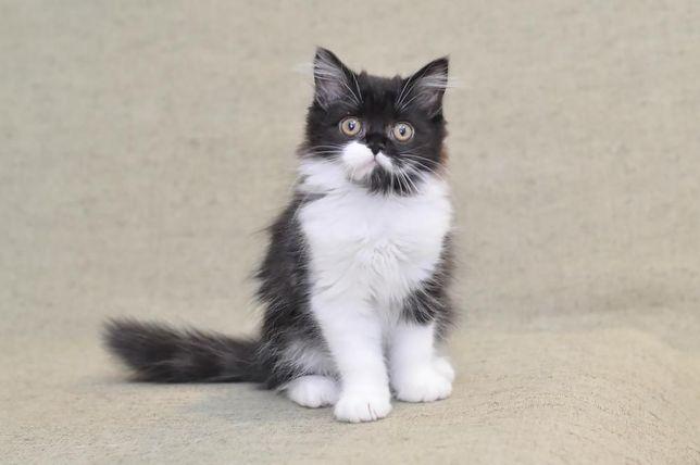 Котенок. Шотландские котята. Scottish straight