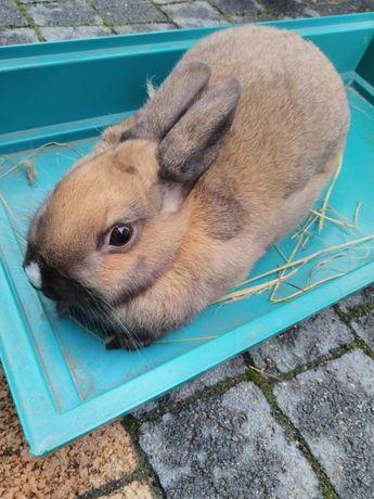 Samica królik miniaturka