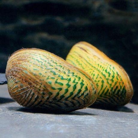 Małże słodkowodne (Scabies crispata)