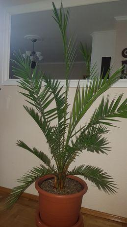 Palma daktylowiec kanaryjski