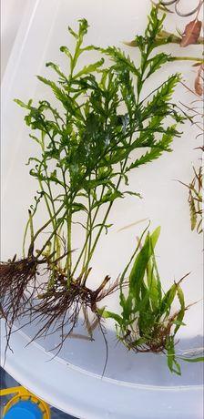 Bolbitisheudelotii(plantaparatronco/rocha)-Aquário