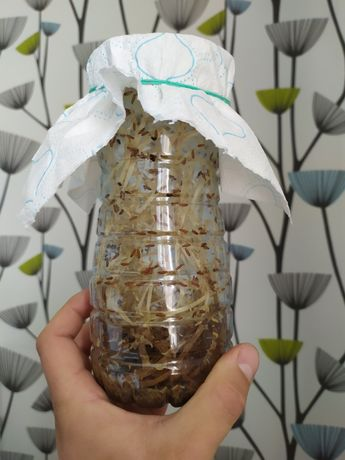 Hodowla muszki muszka owocówka D.hydei i melanogaster, nielotne