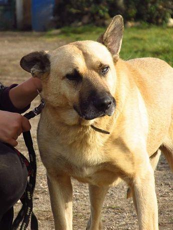 Stateczny zrównoważony pies Oldi szuka miłości i domu