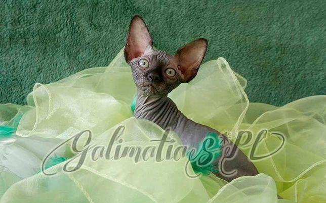 DOSTĘPNA piękna, czarna koteczka sfinks! / Black sphynx female