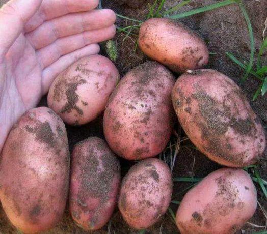 Продам насінєву картоплю бела роса ціна 8 грн за кг