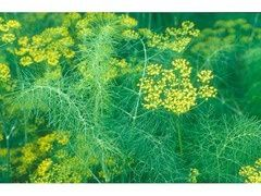 Семена укропа ( см. фото)