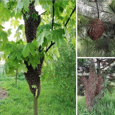 Pszczoły, rójka, rój, bezpłatnie