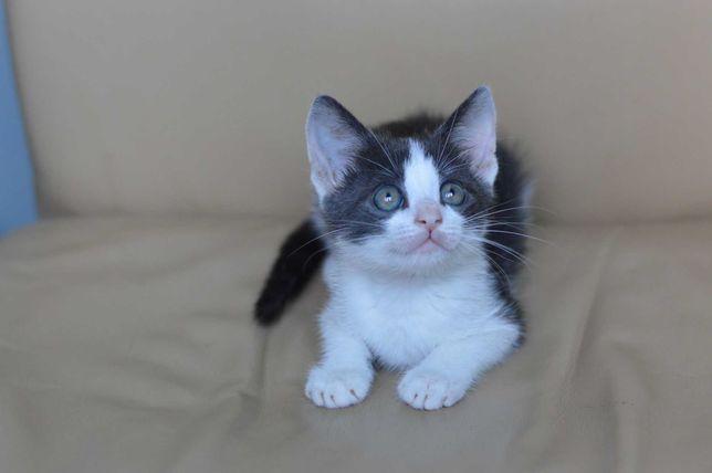 Котенок мальчик 2 месяца, очень активный и мурчащий