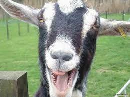 Obornik kozi sezonowany workowany 60l do ściłkowania nawóz EKO dostawa