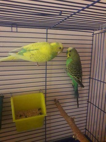 Срочно продам попугайчиков