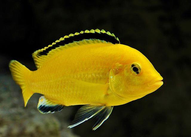 Pyszczak Żółty (Labidochromis yellow) {Świat Akwarysty}