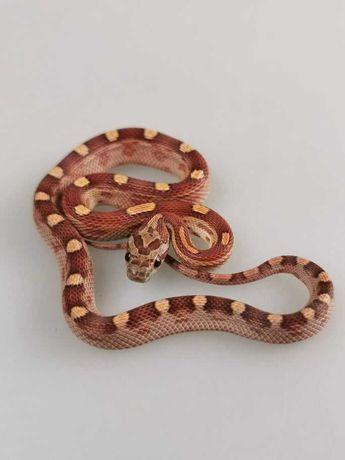 Phanteropis guttatus Wąż zbożowy Z12Motley het ultra bloodred...Samiec