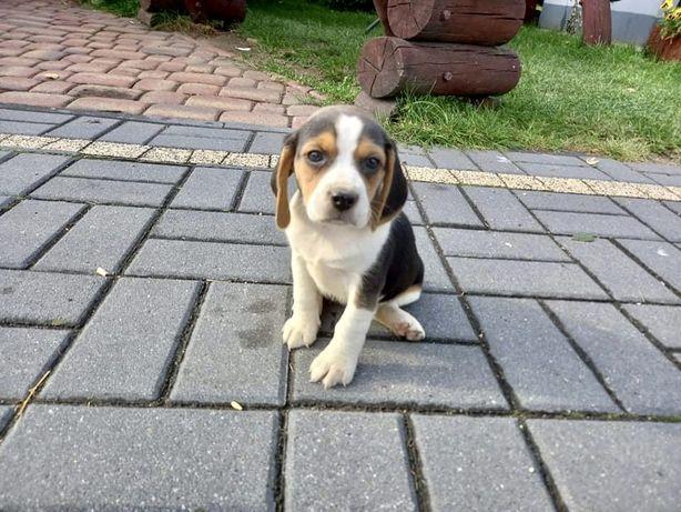Beagle szczeniata tricolor