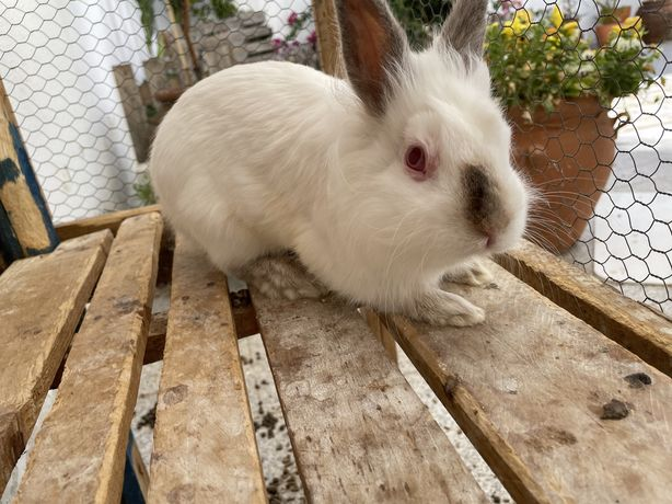 Vendo coelho anao muito manso com ano