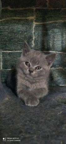 Sprzedam piękne kociaki brytyjskie