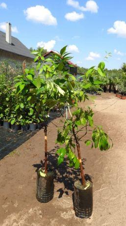 Drzewo cytrusowe Limone Tarocco Rosso Lunario Grapefruit Ręka Buddy