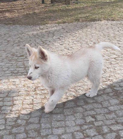 Sprzedam szczeniaka  Syberian Husky