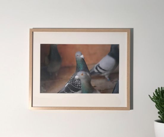 Gołębie pocztowe, dekoracyjne, pięknie oprawione zdjęcia, obrazki.