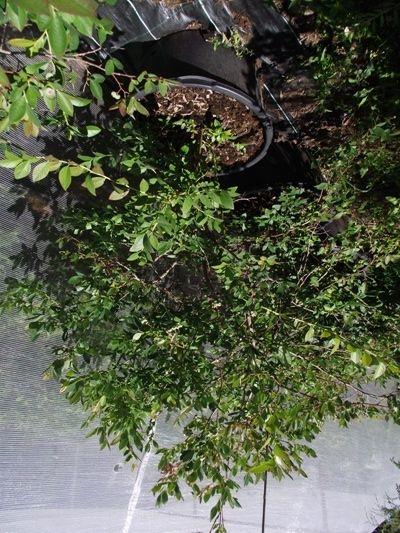 Borówka Amerykańska sadzonka 150cm 15letnia