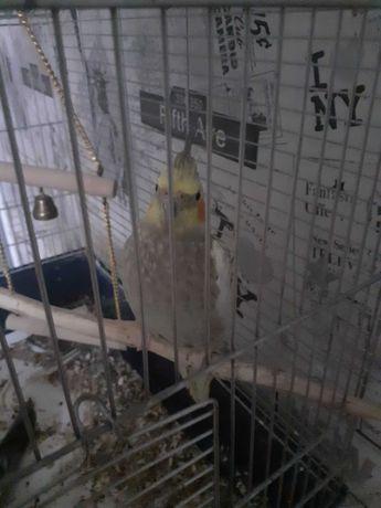 Sprzedam Papugi Nimfy
