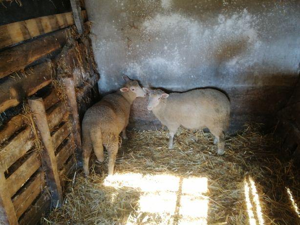 Baranina, dwie owce