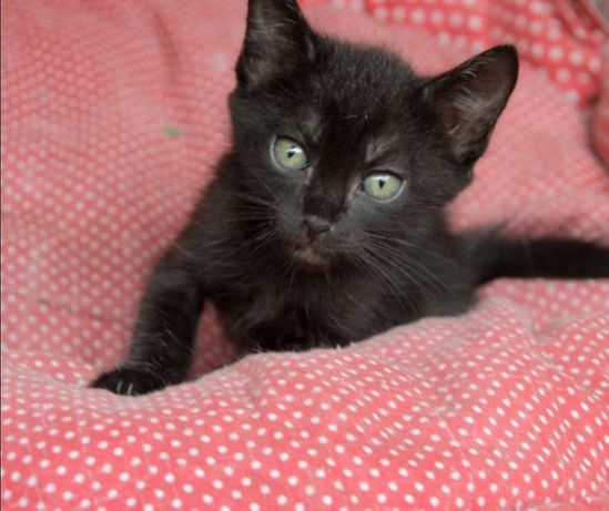 Gatinha preta para adoção