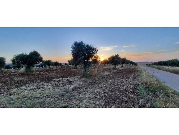 Terreno Rústico com 3500m2 com olival tradicional com boc...