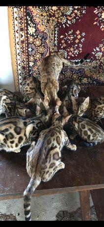 Бенгальские золотые солнышки котята