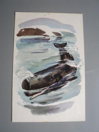 открытка СССР Алексеев Строганова Анималистика 1972 песец морж соболь