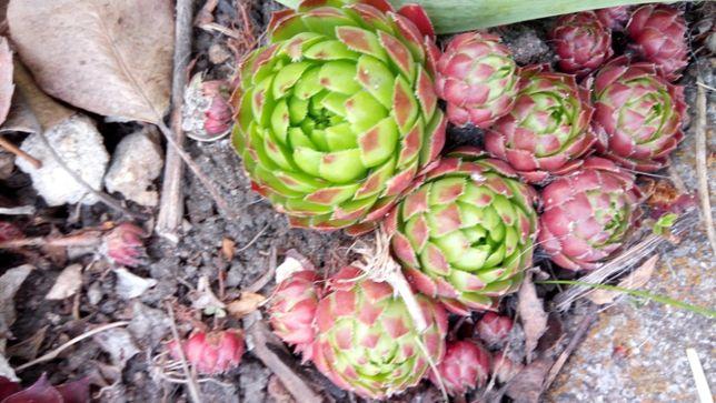 Засухоустойчивые почвопокровное растения для солнца