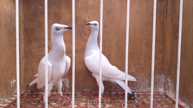 Gołębie srebrniaki para