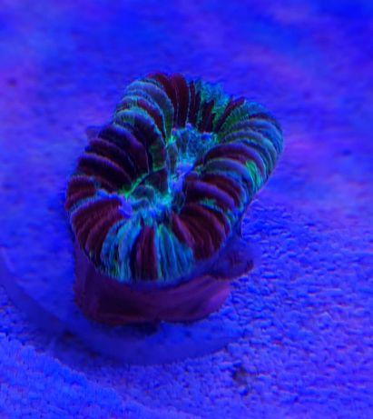Trachyphyllia koral morski