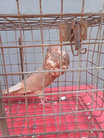 Gołębie górnośląskie