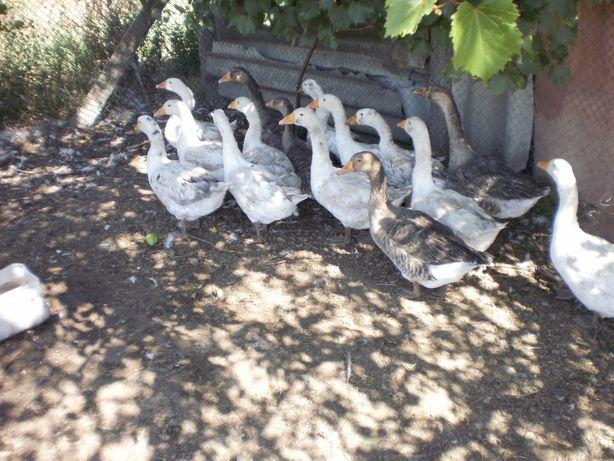 гуси живые