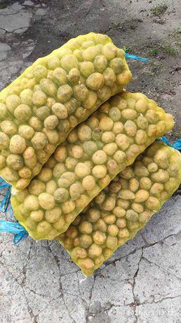 Картошка Пикассо посадочная посевной сортовая картофель картопля