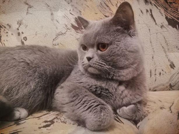 Шотландский кот(вязка)