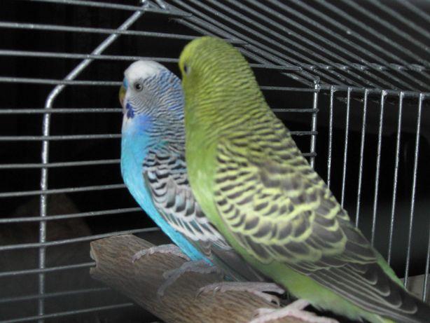 Papugi faliste parka z klatką