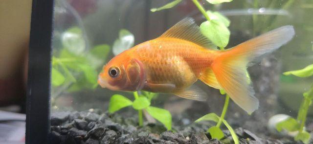 Золотая рыбка, петушок, сомик каридорас, мох рождественский