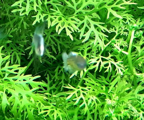 Planta aquário Ceratopteris Thalictroides