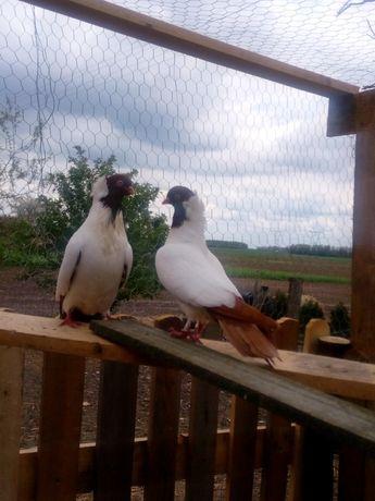 Gołębie sroczki i zakonniki