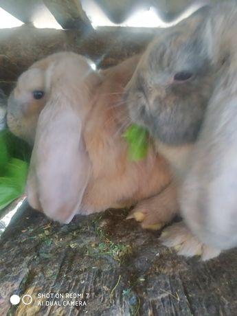 Кролики французький баран