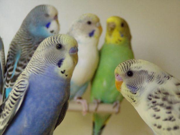 Волнистого попугая красивые ручные малыши + СКИДКА на Клетку