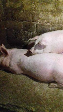 Продам свиней живым весом.