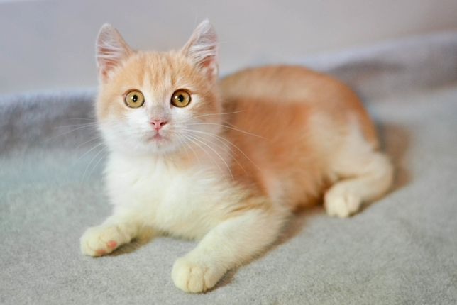 Котенок (кот) 2.5 месяца, рыжий с белым, Срочно! на ручки
