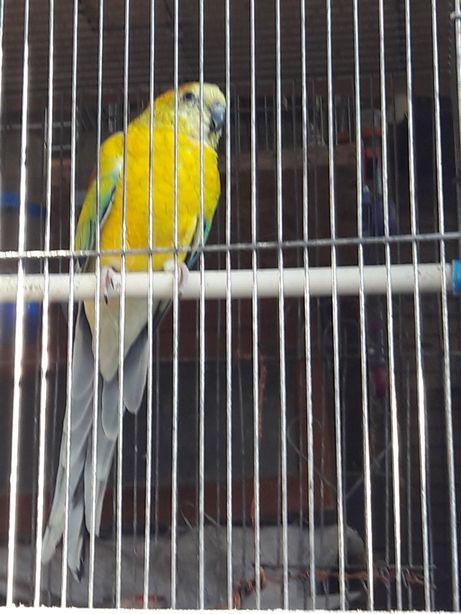 Лазурный попугай