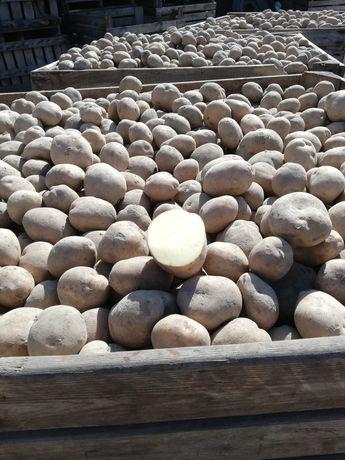 Sprzedam ziemniaki jadalne odmiany Sifra