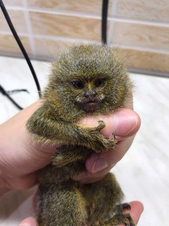 Игрунка мармазетка - ручная игрунка, карликовая обезьянка