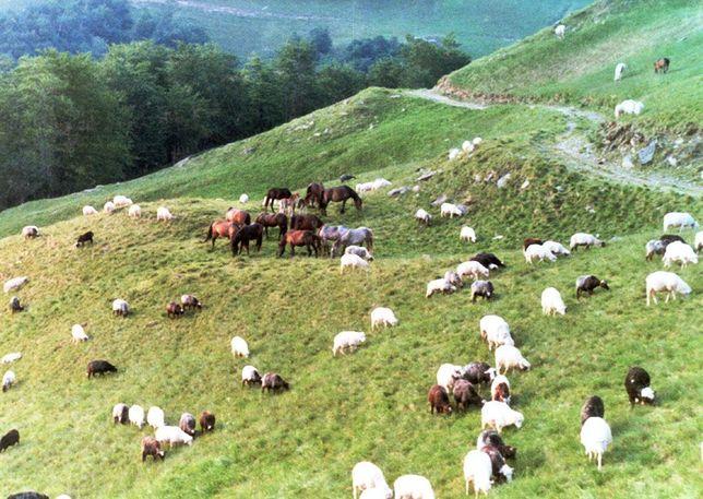 Продам вівці,овци, кози гірськокарпатьскої породи