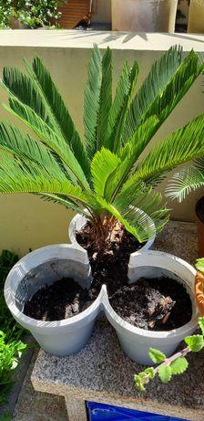 Planta: sika natural