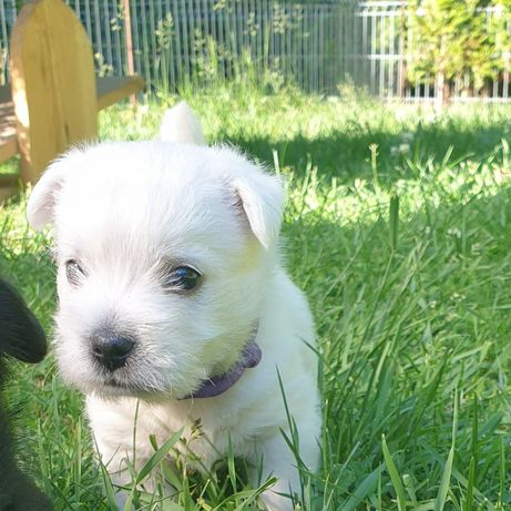 West Highland White Terrier szczeniaki FCI